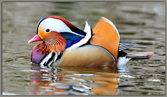 Art of nature/ Mandarin Duck / Mandarijneend / Aix galericulata (Eric Tilman) Tags: art nature duck mandarin aix galericulata mandarijneend
