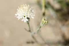 Pincushion (lacey underall) Tags: california white flower desert anzaborrego wildflower asteraceae chaenactis desertpincushion chaenactisfremontii anzaborregodesertstatepark windcaves needsid fishcreekwash