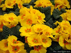 ik wens jullie heel veel zonneschijn / wishing you lots of sunshine (dietmut) Tags: flowers nederland thenetherlands primula bloemen sonycybershot zuidholland rhoon gardencenter 2013 tuincentrum albrandswaard sonydsct200 dietmut geelyellowgelb maartmarch yourfavorites74