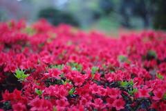 Azalea (mrhayata) Tags: flower japan geotagged tokyo blog azalea minato minamiazabu mrhayata geo:lon=139724126 geo:lat=35651609