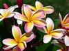 Pluméria (Arimm) Tags: flower frangipane plumeria rubra jasmim jasmimmanga fz40 arimm