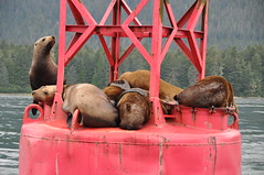 Steller sea lions rest on a buoy in Frederick Sound, Alaska (rzm_photos) Tags: sea alaska lion petersburg stellar sound buoy frederick 99833 jubatus eumetopias