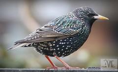 Saturday Starling Close Up (aaron_nikon_photography) Tags: robin rain canon overcast starling 7d redrobin robinredbreast gardenbirds canonef70200mmf28lisiiusm