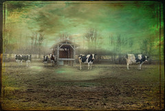 Cows in the Field (jta1950) Tags: painterly texture field rural countryside milk vermont cows farm framed country farming scenic pasture agriculture lx5 dnclx5