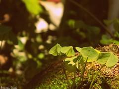 Sweet old home (Amanda4immer) Tags: old light sun house color green home garden happy four photography leaf moss nikon sunday vase clover verdure familyshouse l120 vassel