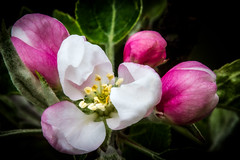Apple Blossom - Early Spring Flower (P C Chang) Tags: pink white flower green beautiful garden leaf spring bloom appleblossom pcchang rememberthatmomentlevel1 rememberthatmomentlevel2 flowerthequietbeauty scarletsentinelappletree