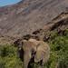 Desert adapted elephant