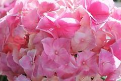Hope & Peace (bigbrowneyez) Tags: pink flowers macro love beautiful dedication boston closeup hope petals pretty peace affection joy tragedy hydrangea lovely fiori sorrow prayers heartfelt devastation hopepeace