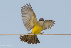 Pitirre chicharrero / Tropical Kingbird (AndresCV Photography) Tags: nature birds flying colombia meta ngc flight feathers aves sanmartin alambre d600 tropicalkingbird tyrannusmelancholicus specanimal pitirrechicharrero naturesharmony andrescv