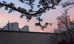 Atardecer (MartinBenito) Tags: sunset atardecer branches sequoia vitoria gasteiz vitoriagasteiz ramas secuoya
