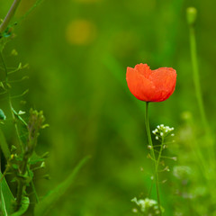 Red and green (Steve-h) Tags: nature wildflowers flowers blossoms papaver poppy cowparsley dandelion weeds grass red green white yellow bokeh riverside riverbank park river dodder riverdodder milltown dublin ireland eire europe europa summer2012 june2012 blog blogs bloggers blogging squareformat square aperturepriority spotmetering canon eos 100mm400mm telephoto zoom canoneos5dmk2 canoneos5dmkii steveh allrightsreserved earthday rememberthatmomentlevel1 rememberthatmomentlevel2 rememberthatmomentlevel3
