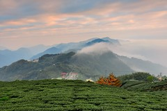 Misty Tea Field@ (Vincent_Ting) Tags: sunset sky clouds taiwan  formosa  jiayi   seaofclouds alisan    teafield