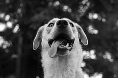 breeze (chris.duesing) Tags: rescue dog sony a7s zhongyi speedmaster 095