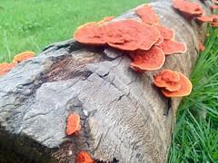 renascimento (Marcelo Adaes) Tags: mushroom fungo tronco arvore cogumelo tree fallen grass grama green verde