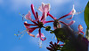 Honeysuckle (The Rustic Frog) Tags: summer sky domestic flora blue pink red canon camera lens 70d ef100mm f28l macro usm is digital eos warwickshire garden petal leaf stamen stem uk england plant green buds honeysuckle