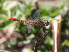 Spotted Darter (chaz jackson) Tags: sympetrumdepressiusculum spotteddarter darter dragonfly odonata insect macro nature macedonia spotted