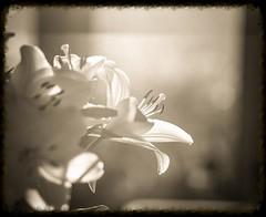 Lilies 2 (Naftade) Tags: analogue analog black white film vintage still life flowers schwarz weis bianco nero blanco negro noir blanc contre jour gegenlicht 120 medium format mittelformat flare haze shine through illuminated pollen