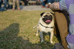 Dog... (lopesrafael222) Tags: dog love fun funny summer light live sunset pug sun nature little