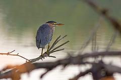 green heron mt vernon washington (lee barlow) Tags: d7100 birdsofnorthamerica butoridesvirescens greenheron leebarlow mtvernon nikon wadingbirds washingtonstate