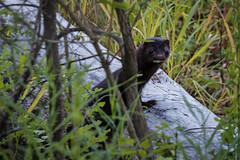 American Mink (jacques.raymond10) Tags: calgary alberta canada ca mink americamink