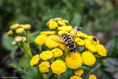 P1000202.jpg (J.Weyerhuser) Tags: markt oppenheim schwebfliege eristalinae macro gelb insekt nik colorefex