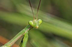 Mantis closeup (phl_with_a_camera1) Tags: michigan nature closeup detail mantis mantid macro insect animal wildlife eye eyes