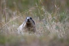 _DSC6377.jpg (Pixelkeeper) Tags: murmeltier wildlife