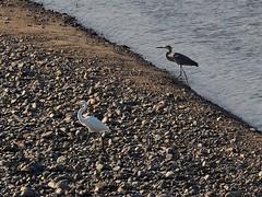Great egret () and grey heron () (Greg Peterson in Japan) Tags: yasugawa wildlife rivers birds japan shiga egretsandherons deba ritto shigaprefecture jpn