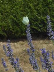 Le Citron (femelle) (Sur mon chemin, j'ai rencontr...) Tags: lecitron papillon pieridae lpidoptre nature