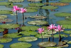 DP1U4112 (c0466art) Tags: 2016 summer season lotus field  wate rlilies cloom colorful flowers scenery landscape canon 1dx c0466art