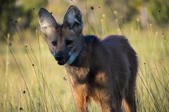 Maned Wolf 7 (Barbara Evans 7) Tags: maned wolf open savannah north east brazil barbara evans7