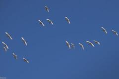 Egrets in flight (Siminis) Tags: siminis heraklio crete greece egret heron whiteegrets egrets herons flight inflight white blue   ardeidae egrettagarzetta