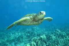 IMG_0066 (Aaron Lynton) Tags: lyntonproductions tako honu turtle hawaii maui underwater canon g1x spotted eagle ray octopus sea star