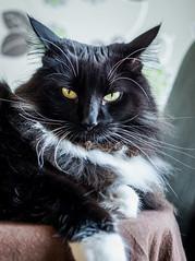 On the table (Percy the cat) (Olympus OMD EM5II & mZuiko 12-40mm f2.8 Pro Zoom) (1 of 1) (markdbaynham) Tags: cat feline big pet cute whiskers black eyes olympus oly omd em5 em5ii csc mirrorless evil mft microfourthirds m43 m43rd micro43 mz zd zuikolic zuiko percy mzuiko 1240mm f28 zoom