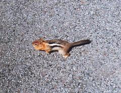 20070721 (70f) - Oregon, Cascades en route to McKenzie Pass - golden-mantled ground squirrel (sienel) Tags: 2007 oregon groundsquirrel goldenmantledgroundsquirrel