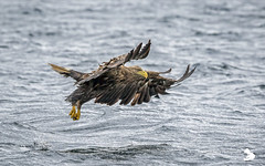 _J5D3027- White-tailed Eagle (MartinJonesPhotography) Tags: mull whitetailed eagle