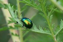 Tansy Beetles-5871 (Markpkn) Tags: beetle tansybeetle tansy york chrysolinagraminis chrysolina macro