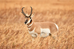 Pronghorn Buck (Jeff Clow) Tags: grandtetonnationalpark mothernature september usa wyoming animals nature outdoors outside western wild wildlife