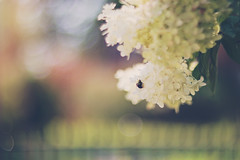 If you get tired, learn to rest, not to quit! (Sandra H-K) Tags: hydrangea flowers flora bee insect bokeh bokehwednesday helios402 white whiteblossoms summer summertime dof depthoffield dreamy serene soft softfocus pastel pretty pollinator outside outdoors