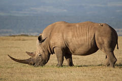White Rhino (Hector16) Tags: solioranch kenya laikipia 2013 soliolodge ke rhino endangeredspecies ngc npc