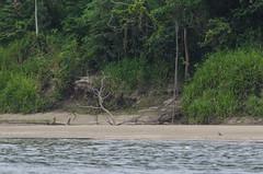 rio madre de dios (arcibald) Tags: madrededios river tambopata peru riomadrededios puertomaldonado amazon andeanlapwing lapwing vanellusresplendens