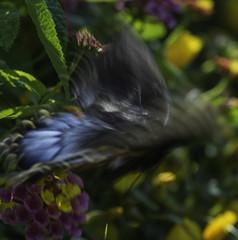 Butterfly_SAF0598 (sara97) Tags: butterfly copyright2016saraannefinke flyinginsect insect missouri nature outdoors photobysaraannefinke pollinator saintlouis towergerovepark urbanpark