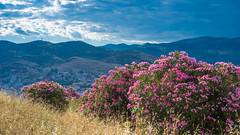 Oleanders Blossoming on Hillside, Selcuk, Turkey (danliecheng) Tags: selcuk turkey blossom bright cloudy contrast dim flowers grasses landscape light mountains oleander pink shade sky summer travel visit withered yellow