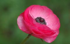 Crystal Dew Drops (shelley.sparrow) Tags: crystaldewdrops shelleysparrow brisbane queensland australia petals vibrant pinkflower beauty nikon spring