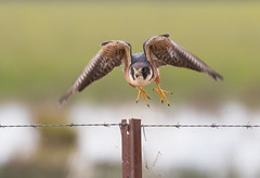 Time to go (christinaportphotography) Tags: australianhobby falcolongipennis falcon flying takeoff lakecargelligo nsw australia bird birds wild free fence wire barbed claws focus dof bokeh