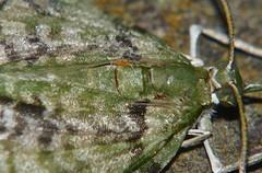 Xtra long leg Orange mite on a snout moth Airlie Beach rainforest P1110951 (Steve & Alison1) Tags: long leg orange mite snout moth airlie beach rainforest extra