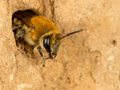 Mining Bee (Dexon123) Tags: macro mining bee essex uk
