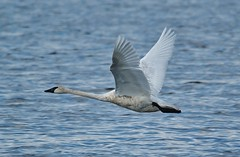 Horicon Marsh Swan In Flight (chumlee10) Tags: horiconmarsh wi wisconsin water horiconwestbend fall swan flight