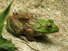 Bullfrog This is the largest, around 4 1/2 inches) (Photos by the Swamper) Tags: amphibians frog americanbullfrog