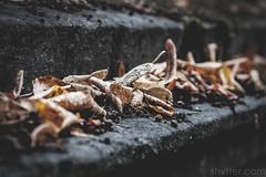 Autumn (#Weybridge Photographer) Tags: adobe lightroom canon eos dslr slr 40d brompton cemetery west london kensington graveyard grave graves leaves autumn